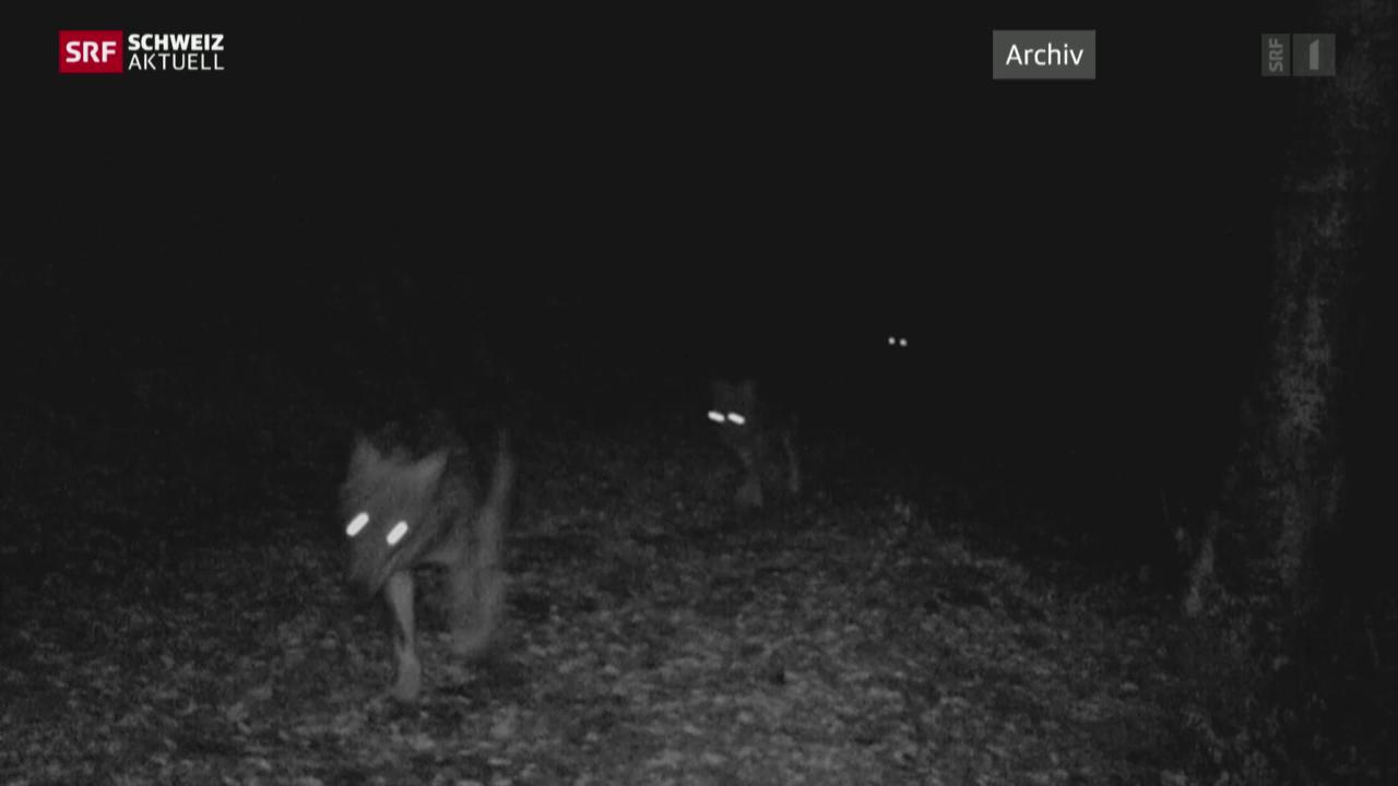 Bund bewilligt Abschuss von zwei Calanda-Wölfen