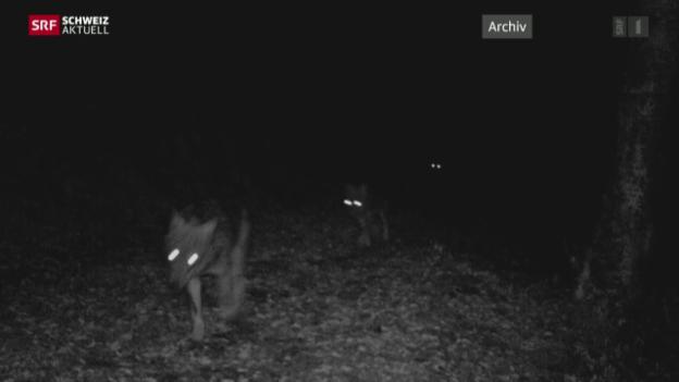 Video «Bund bewilligt Abschuss von zwei Calanda-Wölfen» abspielen