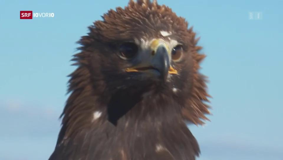 Adler holen Drohnen vom Himmel