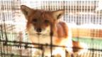Video «Pelzfarmbilder von Fur Europe» abspielen