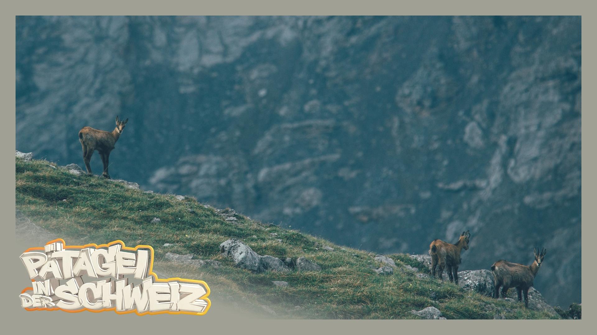 Gämsli – das herzigste Tier der Alpen