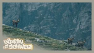 Video «Gämsli – das herzigste Tier der Alpen» abspielen