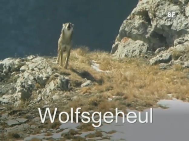 Video ««Wolfsgeheul» (schweizerdeutsch)» abspielen