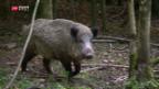 Video «Jagd auf Wildschweine» abspielen