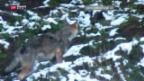 Video «Wolfgegner im Aufwind» abspielen