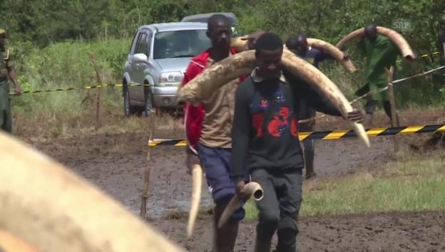 Video «Vorbereitungen zur Verbrennung von Elfenbein» abspielen
