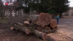 Video «Nur gesunde Bäume trotzen dem Sturm» abspielen