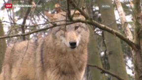 Video «Wallis gibt Wolf zum Abschuss frei» abspielen