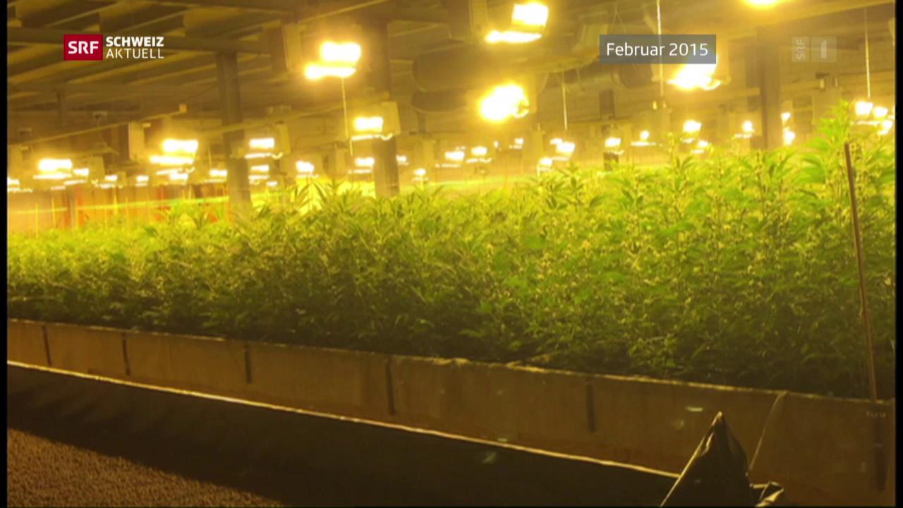 Hanfplantage-Angreifer vor Gericht