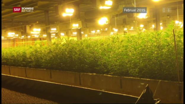 Video «Hanfplantage-Angreifer vor Gericht» abspielen