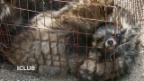 Video «Marderhundhaltung in China» abspielen