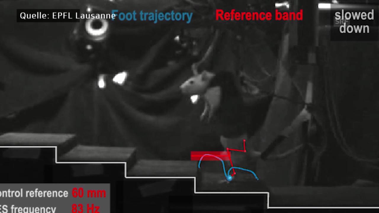 Forscher lassen gelähmte Ratten laufen