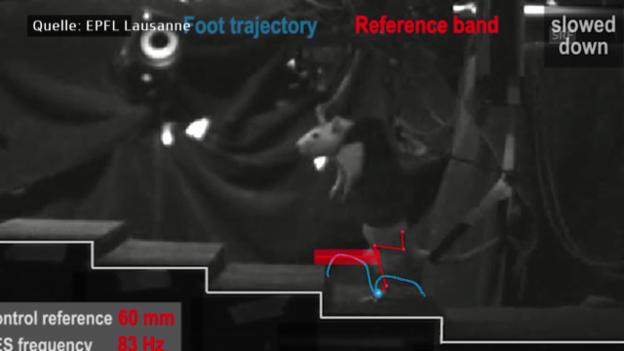 Video «Forscher lassen gelähmte Ratten laufen» abspielen