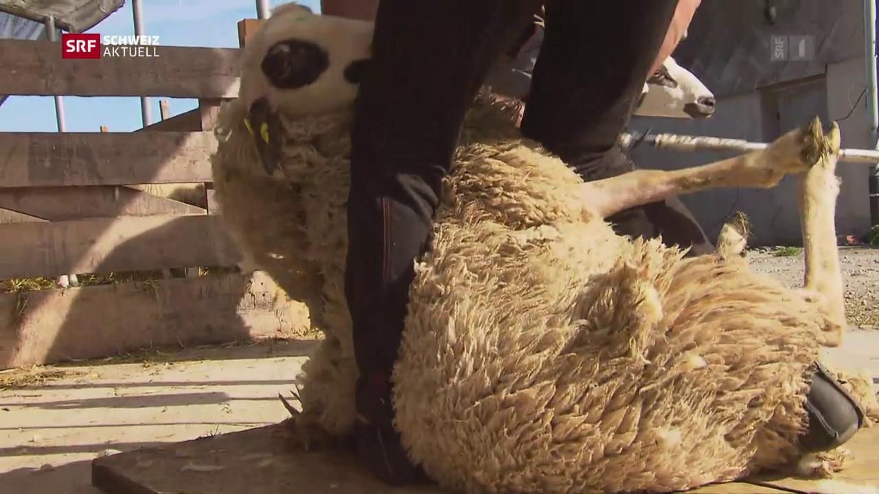 Das Schaf an der Hauswand