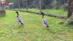 Video «Miet-Enten gegen Schneckenplage» abspielen