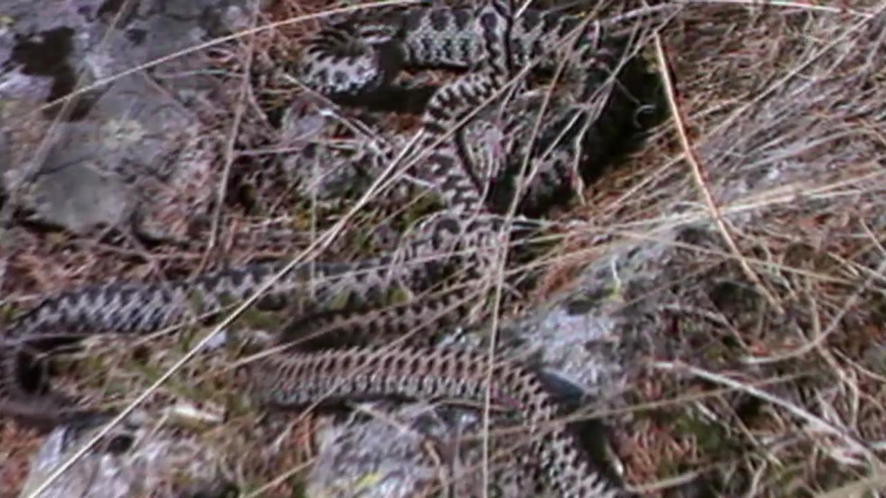 Schlangenbisse in der Schweiz