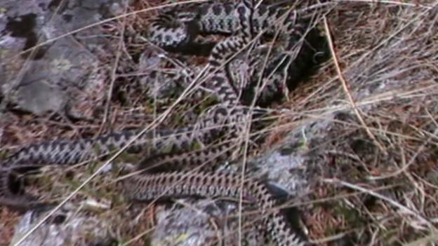 Video «Schlangenbisse in der Schweiz» abspielen