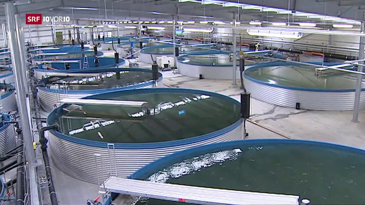 «Die Idee»: Fische züchten im Gotthard-Bergwasser