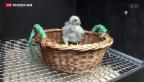Video «Turmfalken-Küken fallen aus Nestern» abspielen