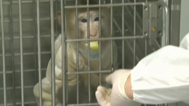 Video «Schweineherz im Affenkörper» abspielen
