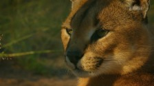 Link öffnet eine Lightbox. Video Harnas – Karakals springen durch die Luft abspielen.