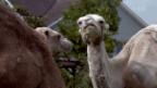 Video «Kiwi, Kamele und Crevetten» abspielen