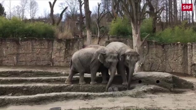 Video «Elefanten-Baby heisst Ruwani» abspielen