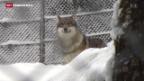 Video «Walliser Politiker machen Jagd auf den Wolf» abspielen