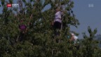 Video «Schwyzer Kirschenernte besser als erwartet» abspielen