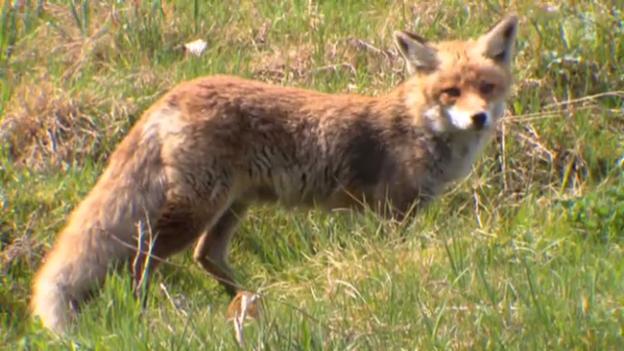 Video «Schlau wie ein Fuchs» abspielen