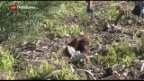 Video «Orang-Utans vom Aussterben bedroht» abspielen