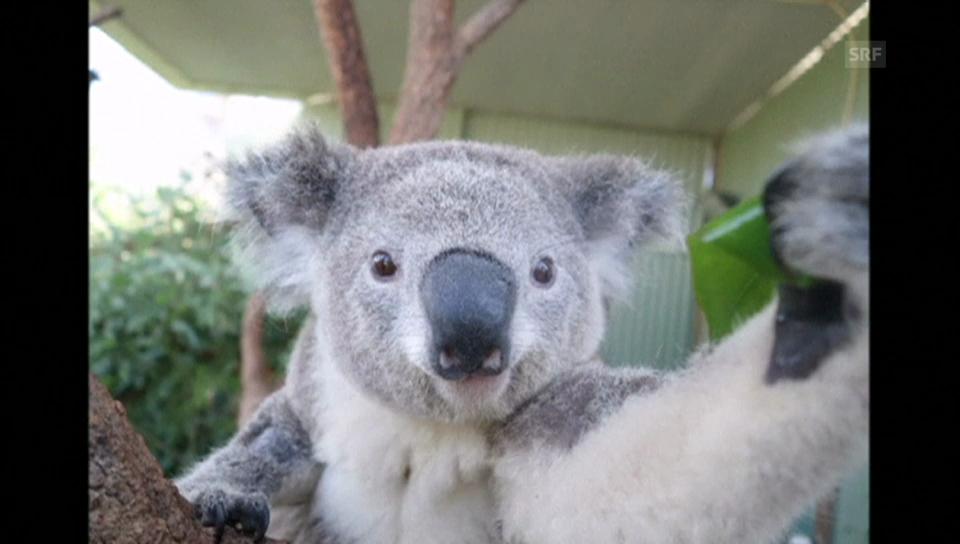 Koala Bruce vor seinem Lieblingsbaum