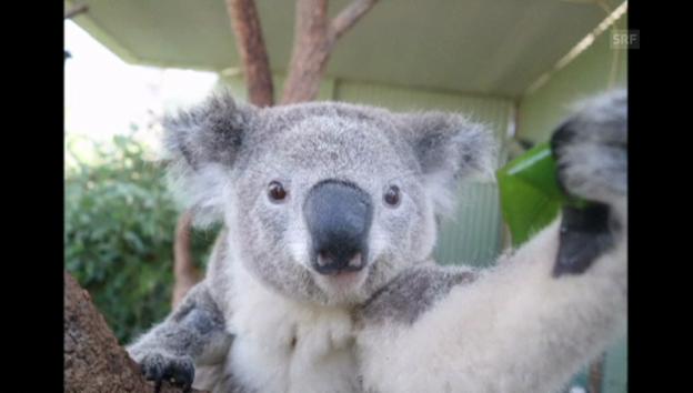 Video «Koala Bruce vor seinem Lieblingsbaum» abspielen