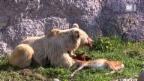 Video «Artgerechte Bärenhaltung» abspielen
