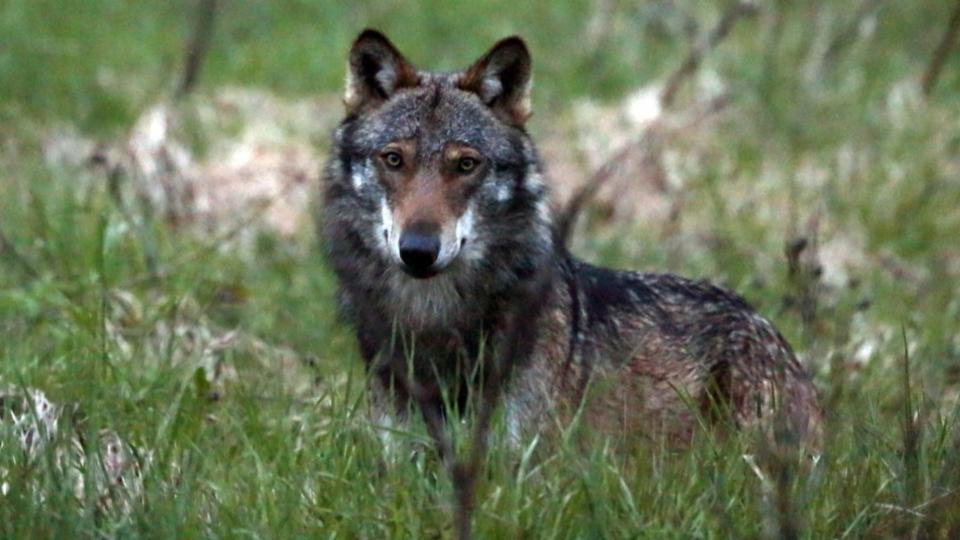 Kritik an der neuer Jagdverordnung wegen des Wolfs