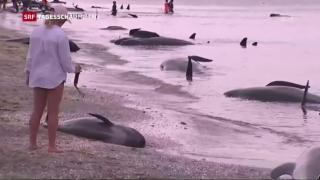 Video «Hunderte Wale an Neuseelands Küste gestrandet » abspielen