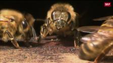 Link öffnet eine Lightbox. Video Schweizer Bienen ohne Orientierung abspielen