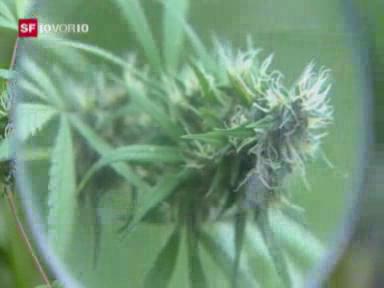 Cannabis als Heilmittel legalisieren