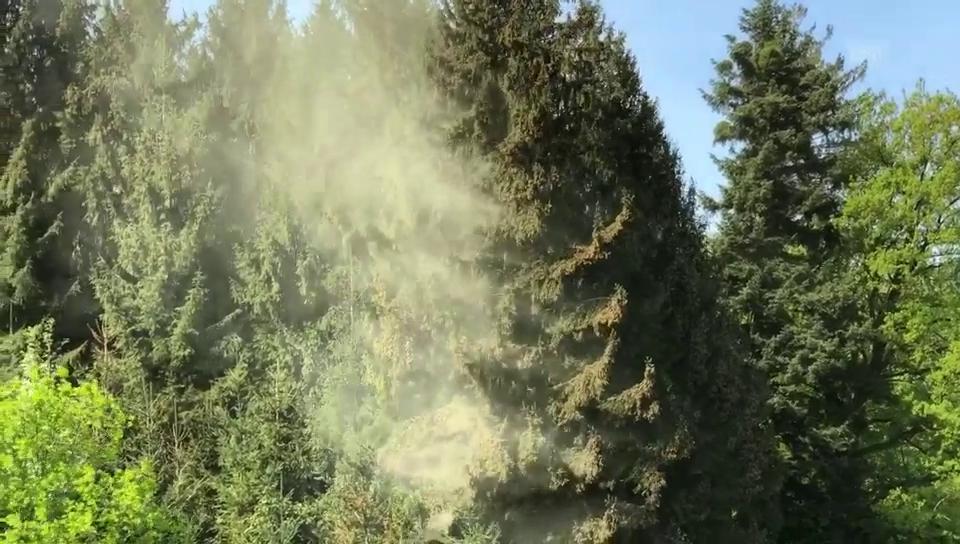 Fichtenpollen-Flug von 2018: Die allergenen Pollen sind jedoch kaum in dieser Form sichtbar.