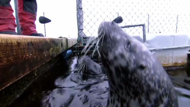 Video «Geniale Struktur im Seehundschnauz: Barthaar als Navigationsgerät» abspielen