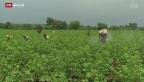 Video «Indien: Selbstmord-Serie unter Baumwollbauern» abspielen