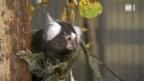 Video «Weissbüschel-Äffchen: Sozial wie der Mensch» abspielen