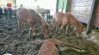 Video «Verurteilter Tierquäler zeigt seinen Betrieb» abspielen
