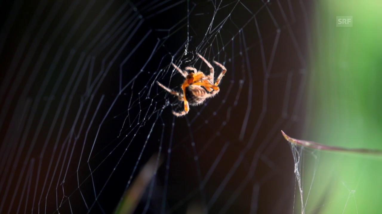 Wie bauen Spinnen ihr Netz?