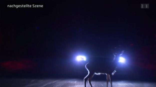 Video «Reh springt vors Auto: Behörden büssen gnadenlos» abspielen