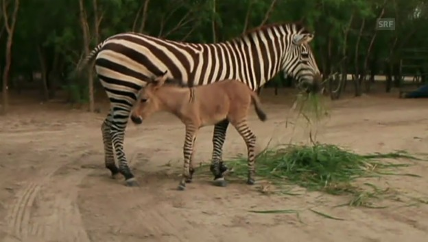 Video «Ebra «Khumba» in Aktion (unkommentiert)» abspielen