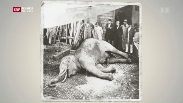 Video «Mythos um einen Elefanten» abspielen
