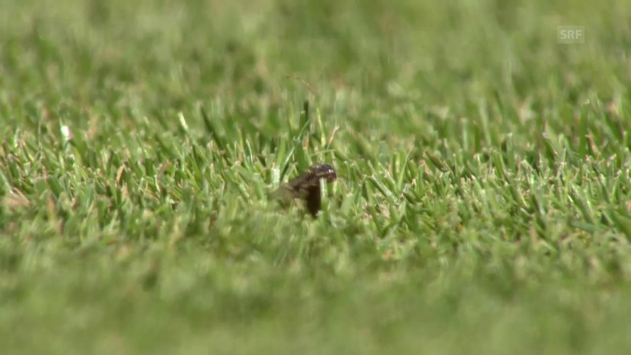 Insektenplage in Wimbledon