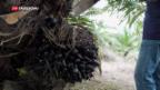Video «Bedeutung der Ölpalme für malaysische Kleinbauern» abspielen