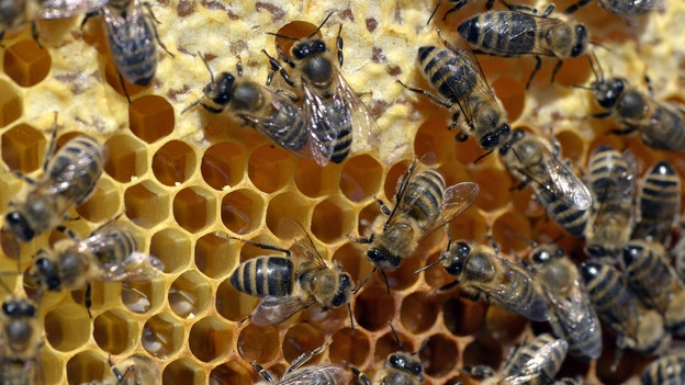 Asthma – Bienenstock-Luft soll helfen